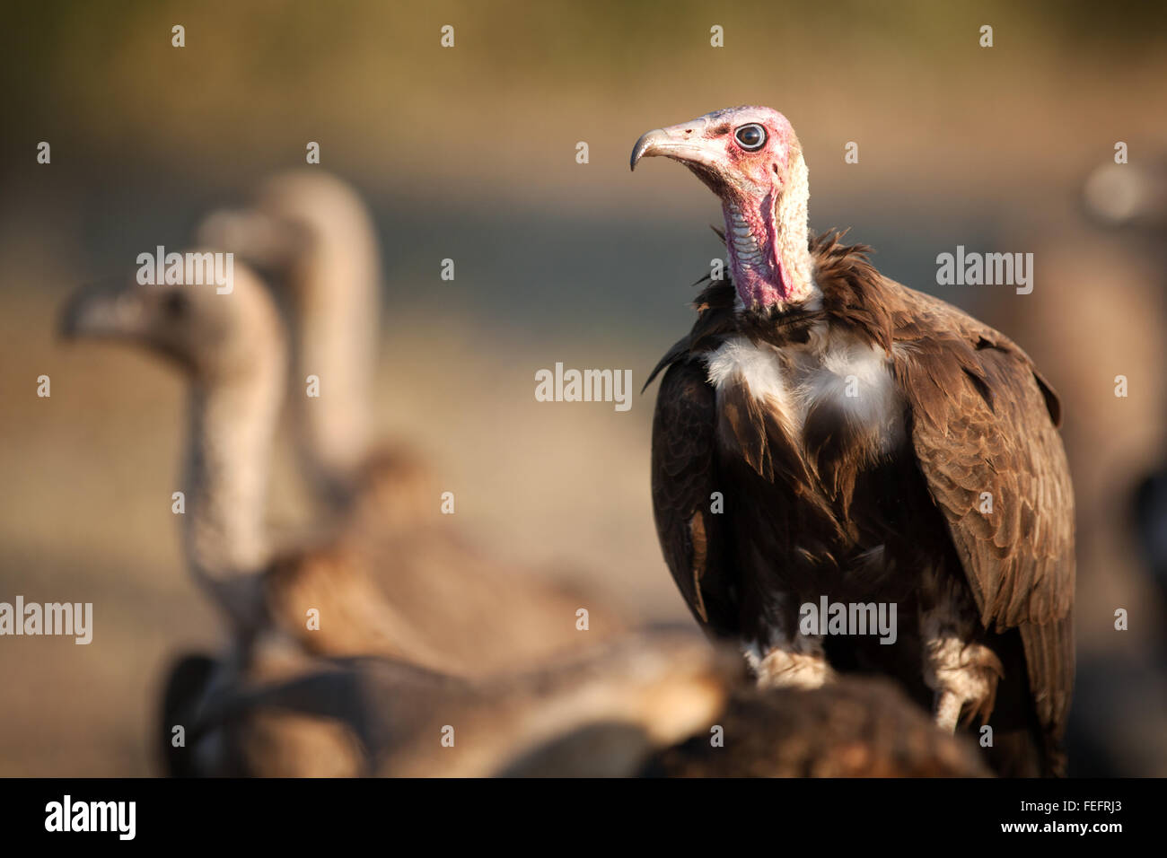 Vulture on a carcass - Stock Image