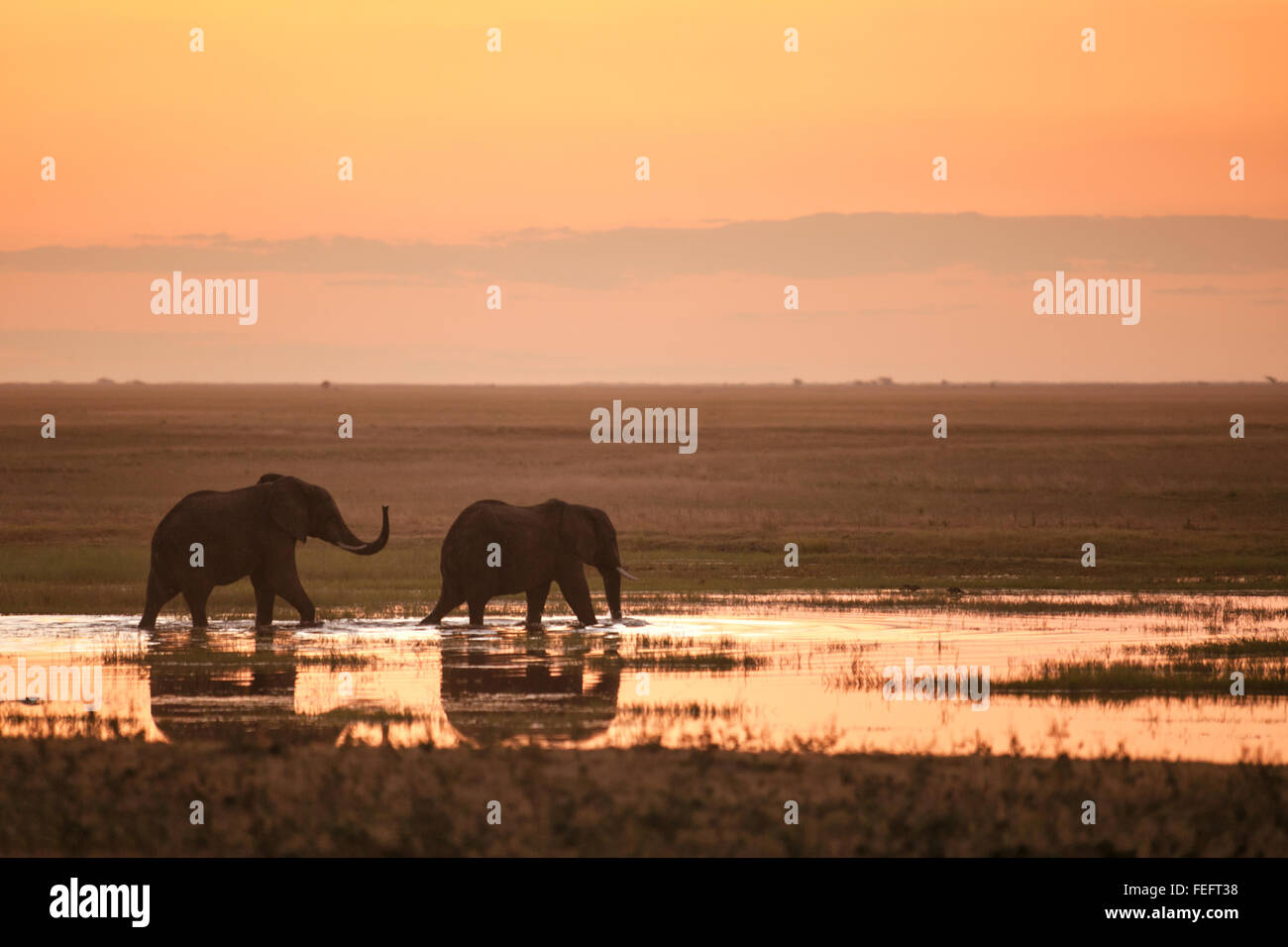 Two elephants in sunset - Stock Image