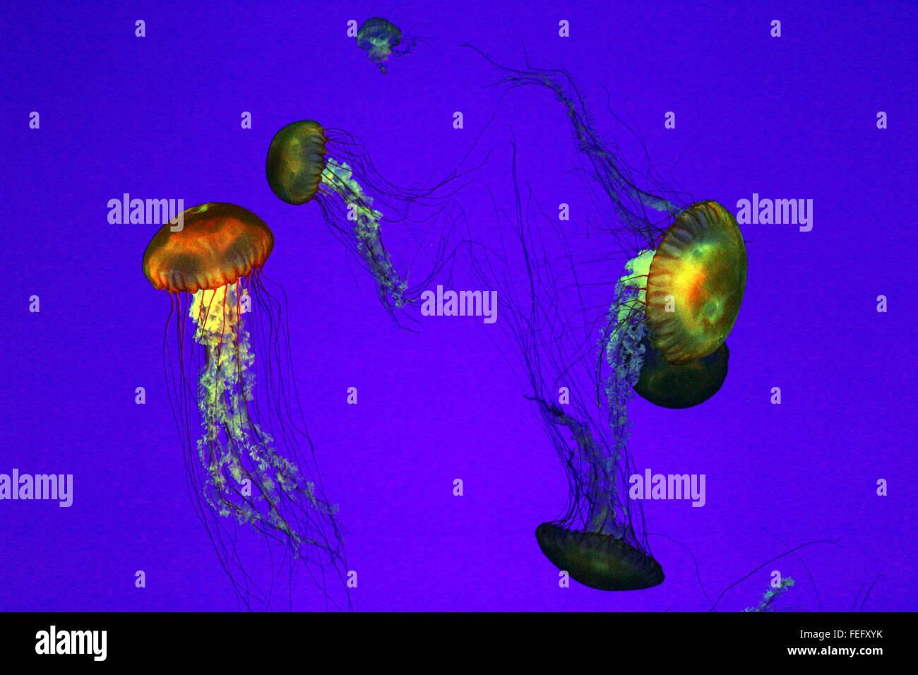illuminated jellyfish in tank - Stock Image