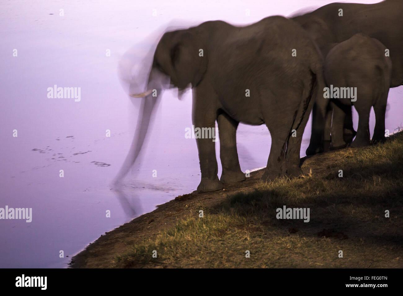 Elephants drink at midnight - Stock Image