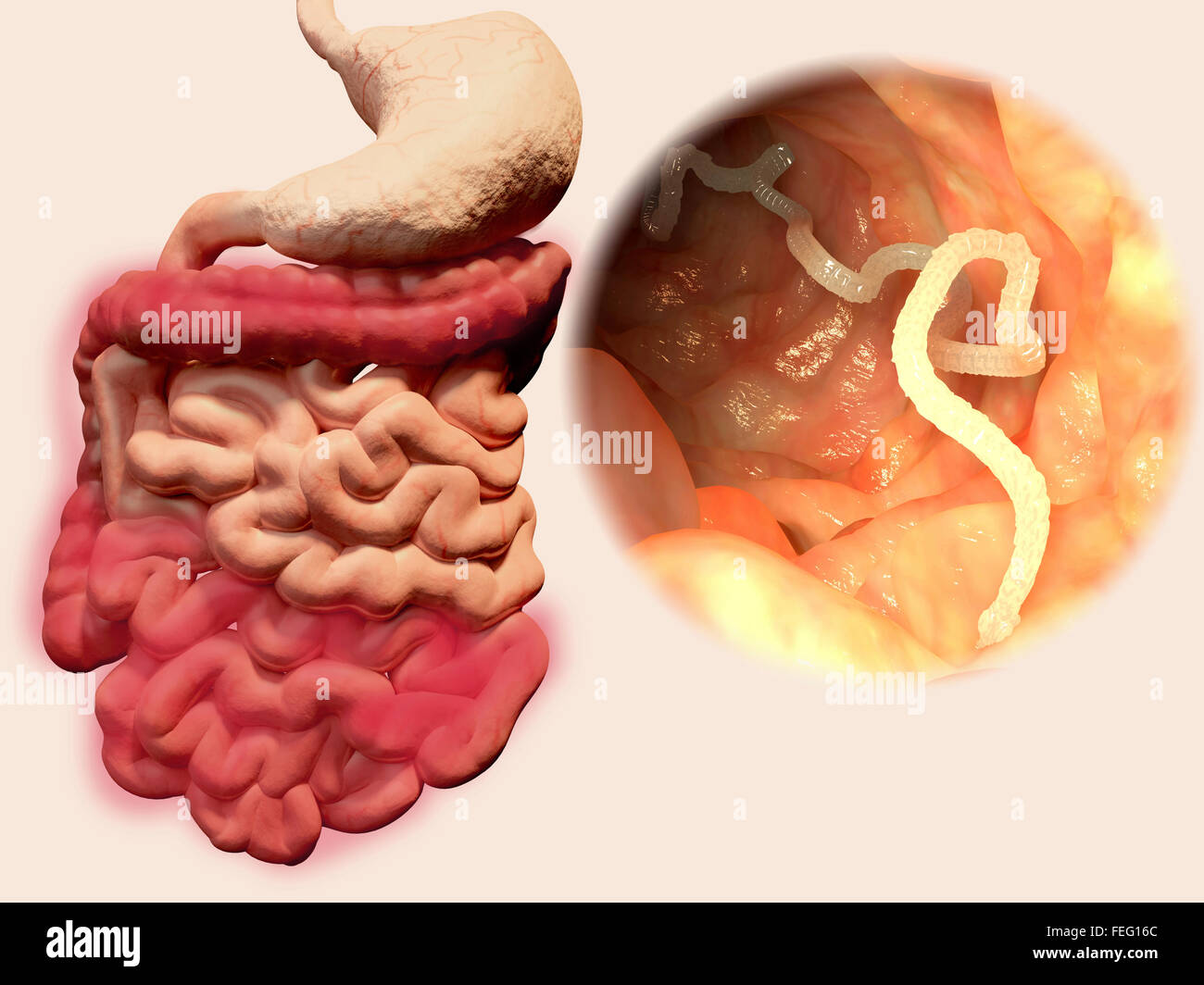 Illustration Of A Tapeworm In A Human Intestine Tapeworms Taenia