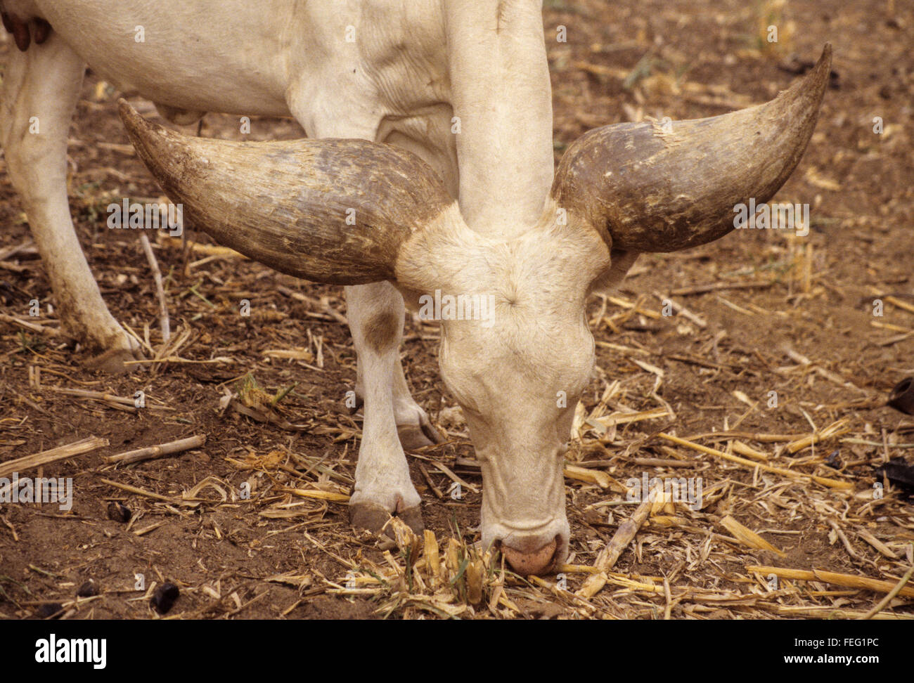 Niger, Niamey.  Lake Chad Cow, Kuri Breed, descended from Bos Taurus Longifrons. - Stock Image