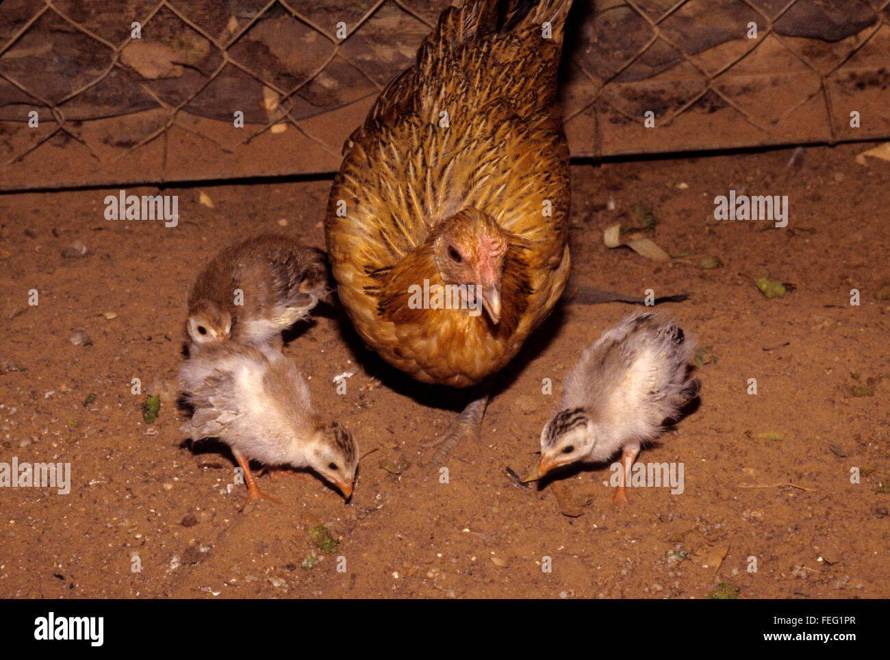 Surrogate Motherhood.  A Mother-hen Chicken and her Guinea Fowl Youngsters, 2-3 Weeks Old. - Stock Image