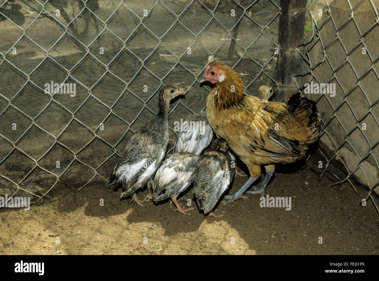 Surrogate Motherhood.  A Mother-hen Chicken and her Rapidly-growing Guinea Fowl Youngsters, Eight Weeks Old. - Stock Image
