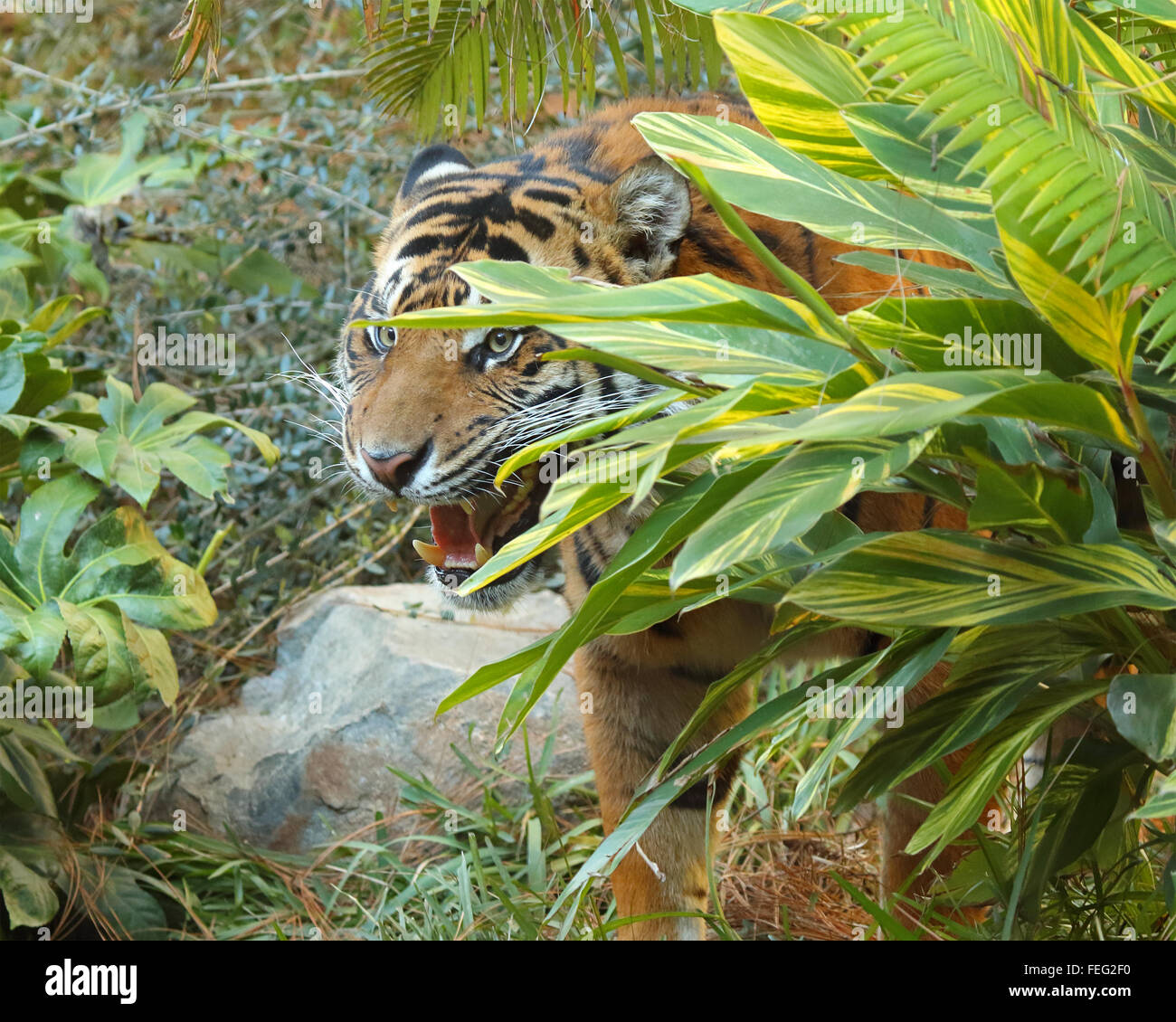 A Tiger growling from behind bushes. - Stock Image