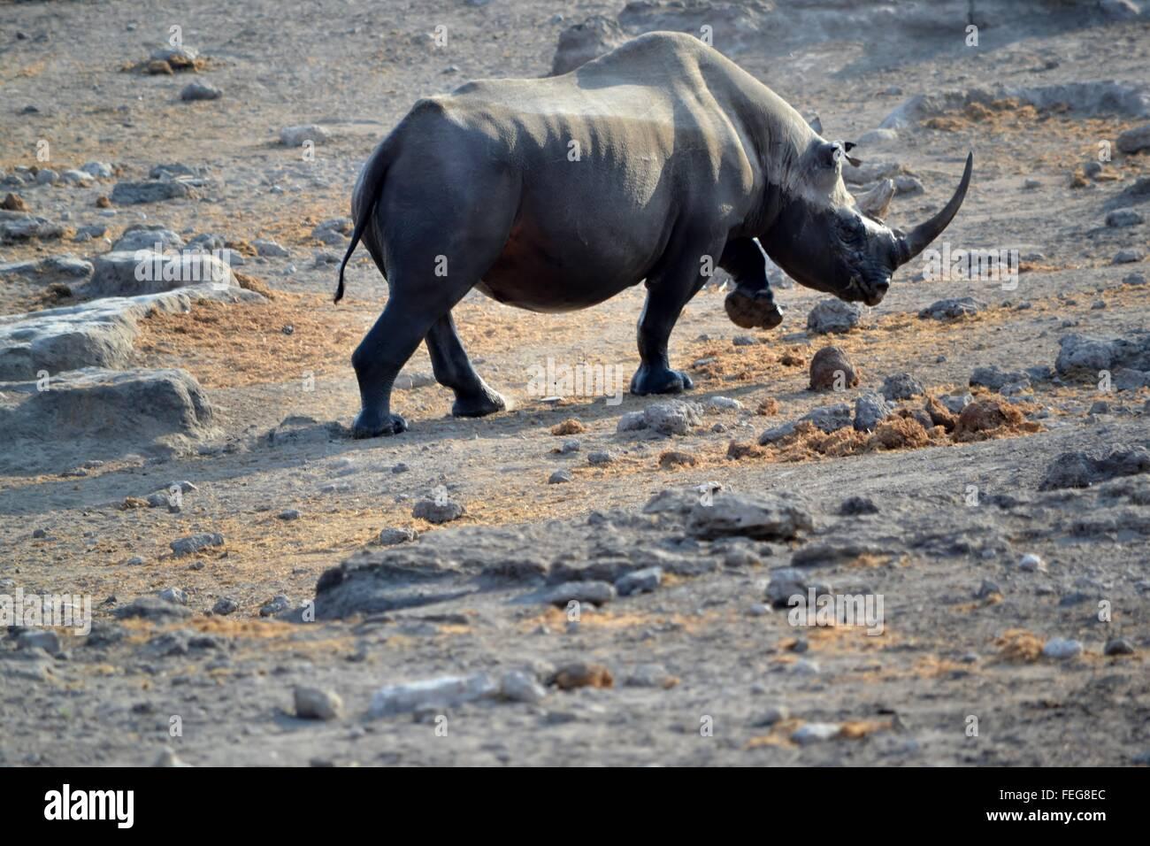 Black rhino in Etosha National park, Namibia - Stock Image