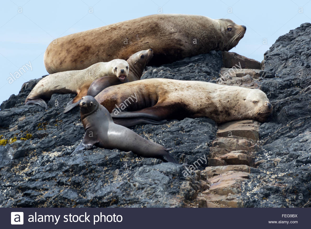 Stellers sealions lounging about on the rocks of a Southeast Alaska island in the summer. - Stock Image