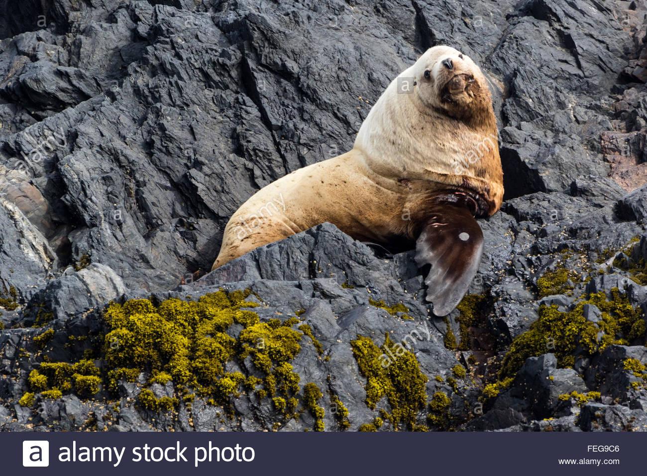 A fat and curious Steller Sea Lion sits atop a rock along the coast of Alaska - Stock Image