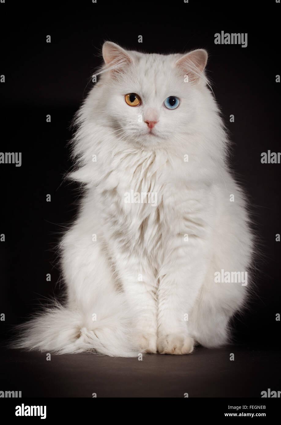 Portrait of a varicoloured eyes white cat - Stock Image