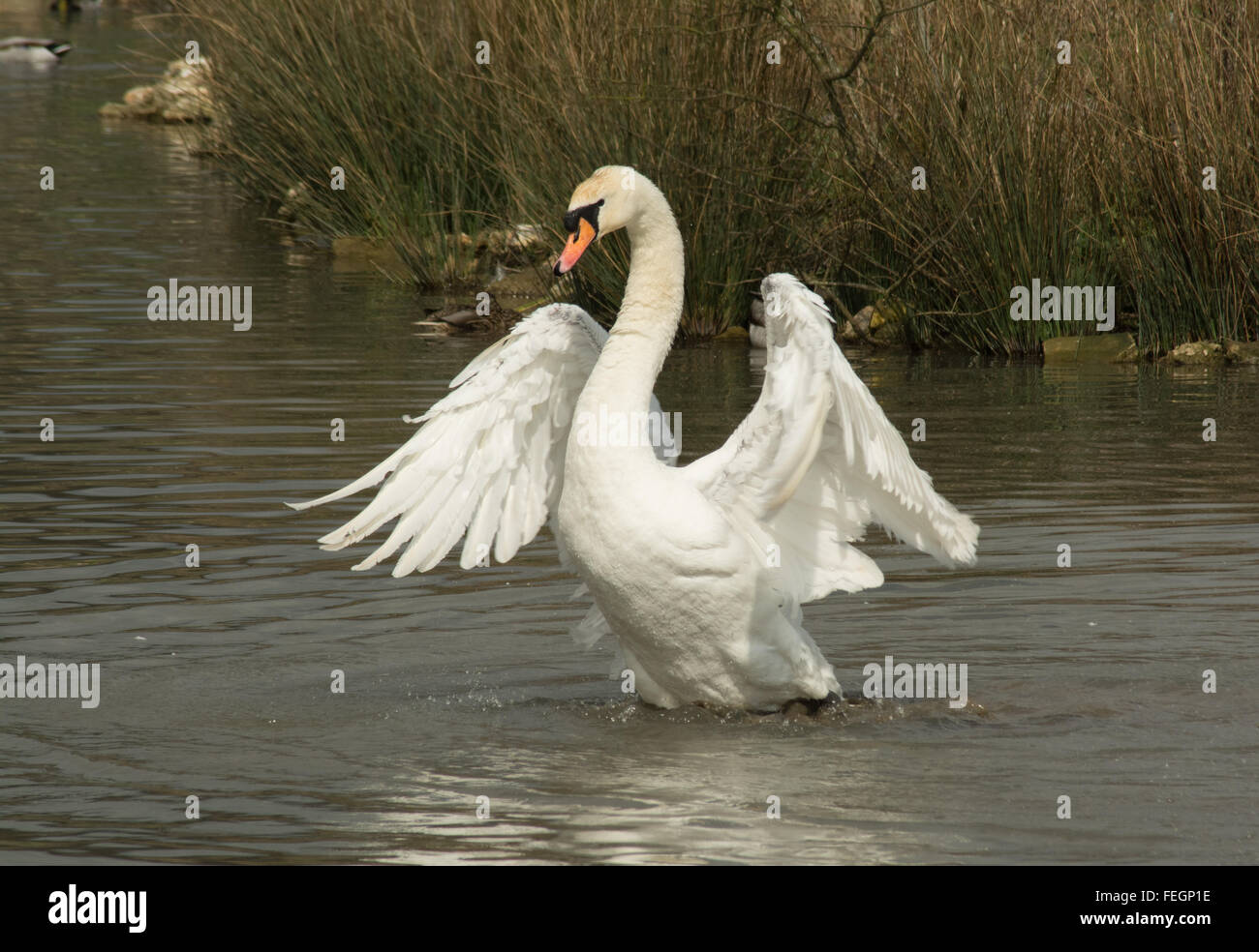 Mute swan with outstretched wings (Cygnus olor) Stock Photo