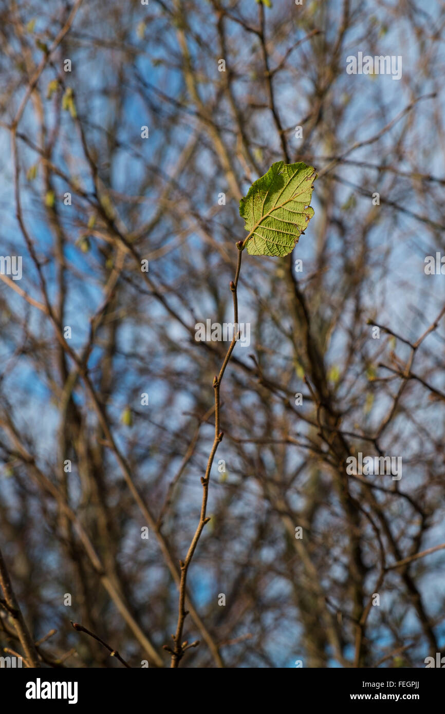 solitary leaf on a twig showing concept of winter - Stock Image