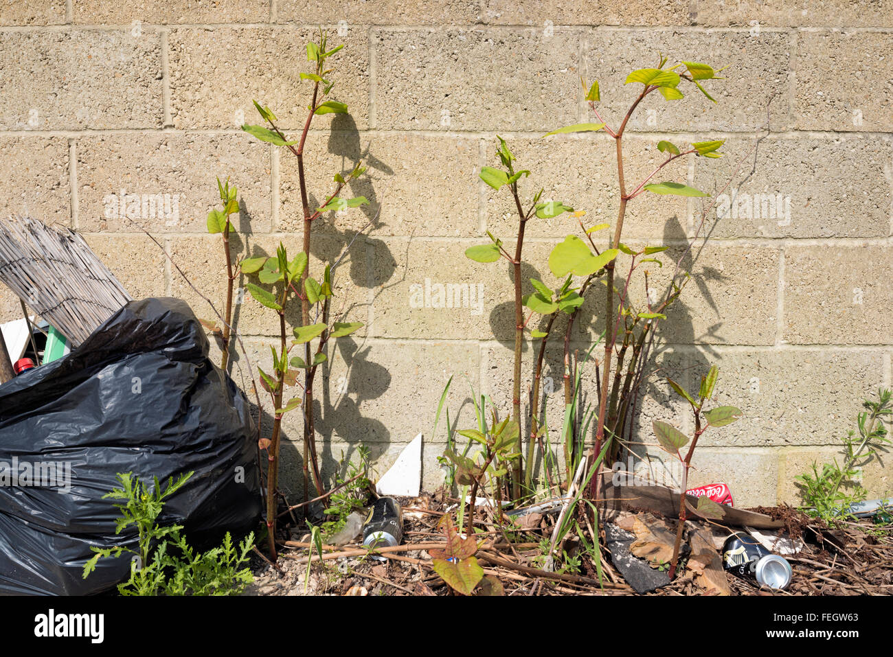 Japanese knotweed: Fallopia japonica,  Reynoutria japonica - Stock Image