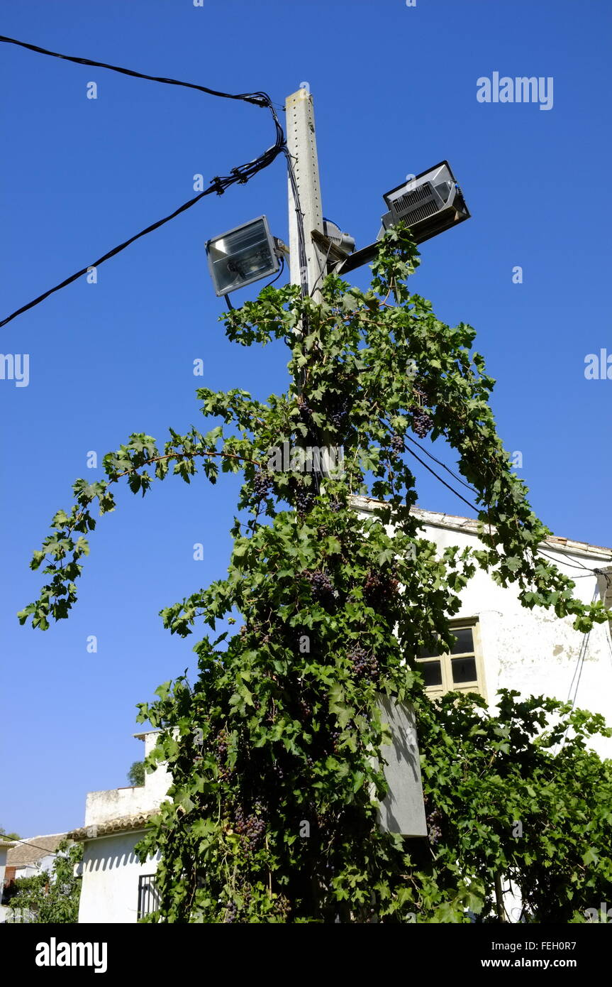 Vine with bunches of grapes growing up a lamp post. Almedinilla, Cordoba. Spain - Stock Image