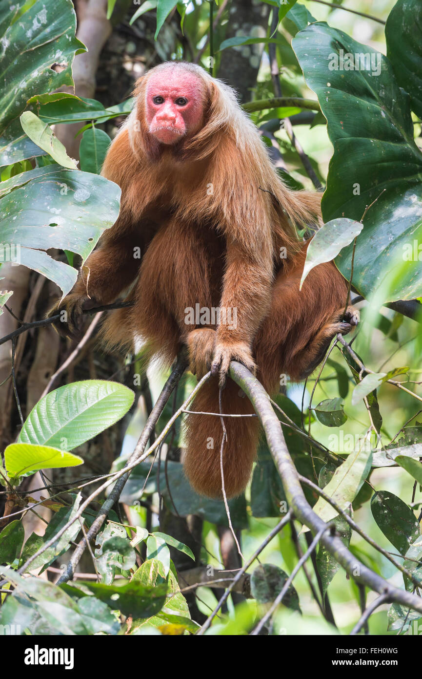 Red bald-headed Uakari monkey also known as British Monkey (Cacajao calvus rubicundus), Amazon state, Brazil Stock Photo