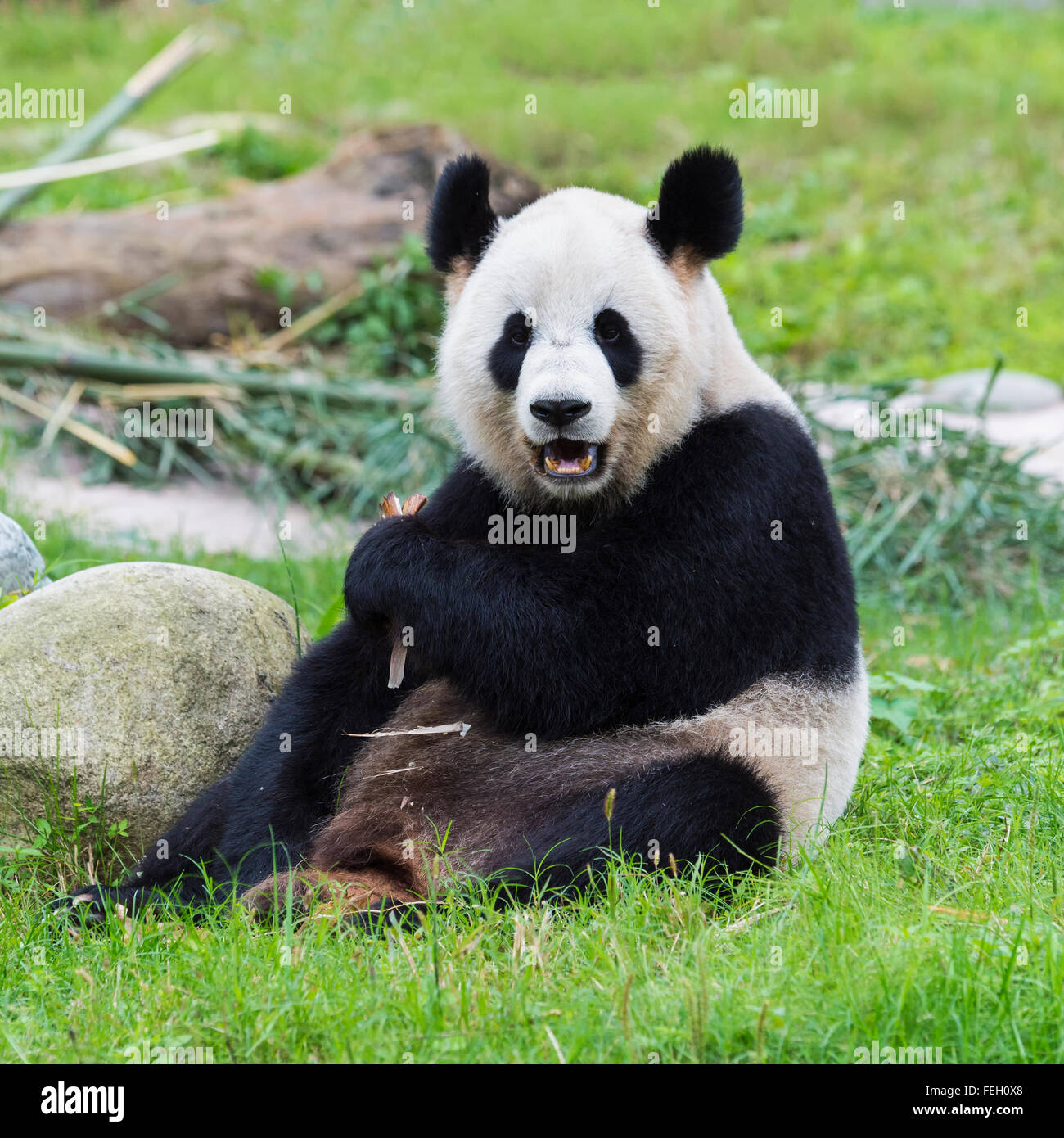 Giant Panda (Ailuropoda melanoleuca), China Conservation and Research Centre for the Giant Pandas, Chengdu, Sichuan, Stock Photo