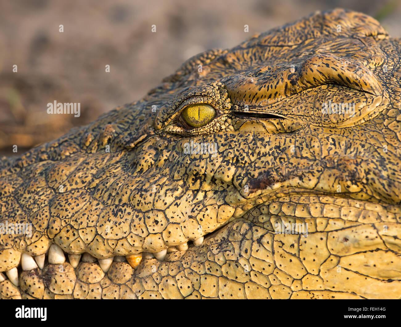 Fearsome looking Crocodile closeup side photo of eye and teeth in Chobe river Botswana - Stock Image