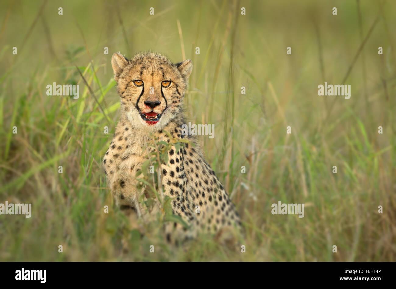 Young cheetah portrait closeup with blood stained lips after kill Maasai Mara Kenya - Stock Image