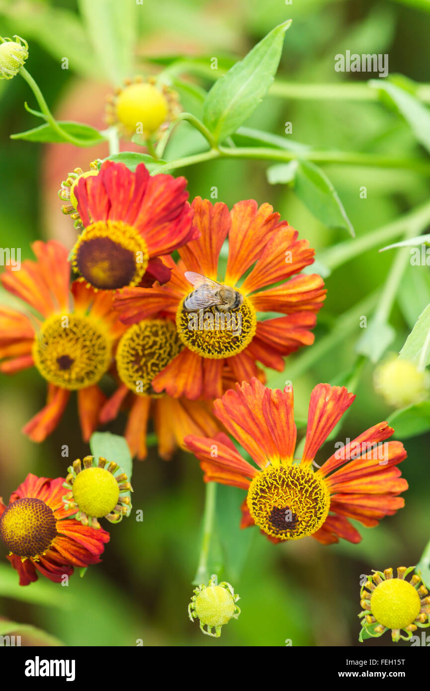 bee on a flower - Stock Image