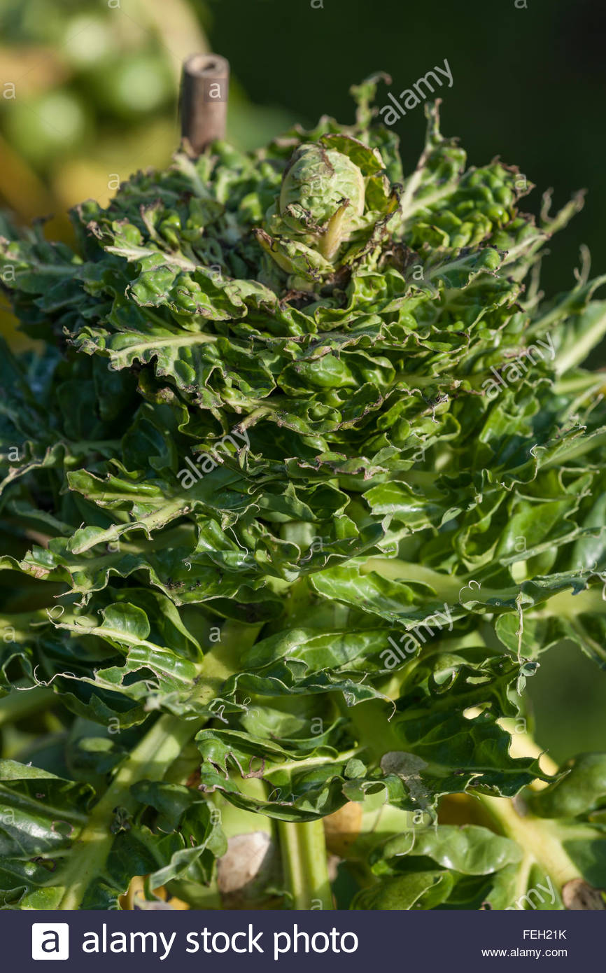 bird damage on Brussels Sprouts tops - Stock Image