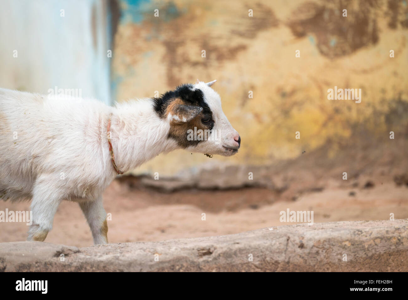 A baby goat in a Guinea Bissau village - Stock Image