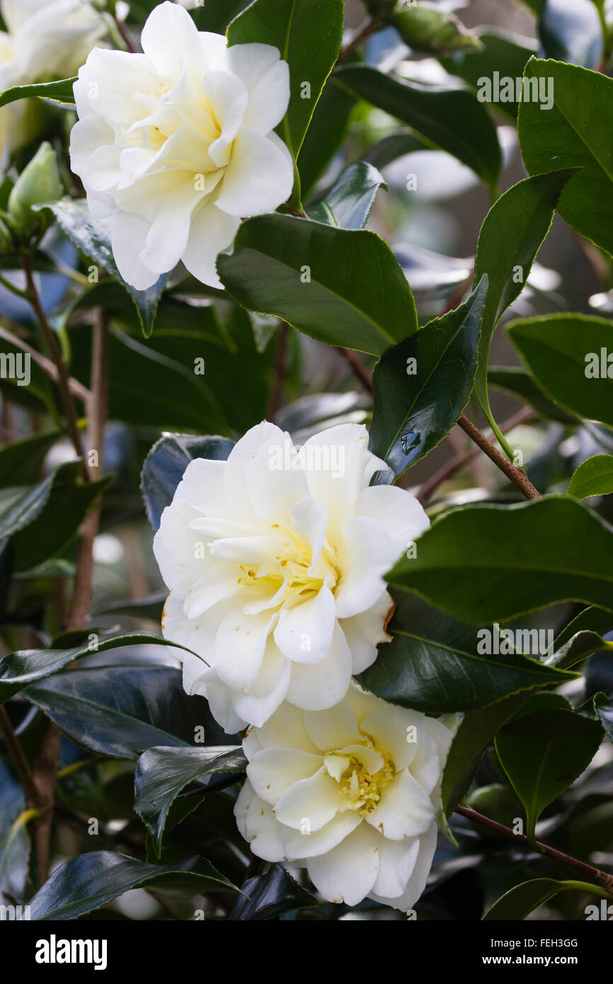 Semi Double White Flowers Of The Winter Blooming Evergreen