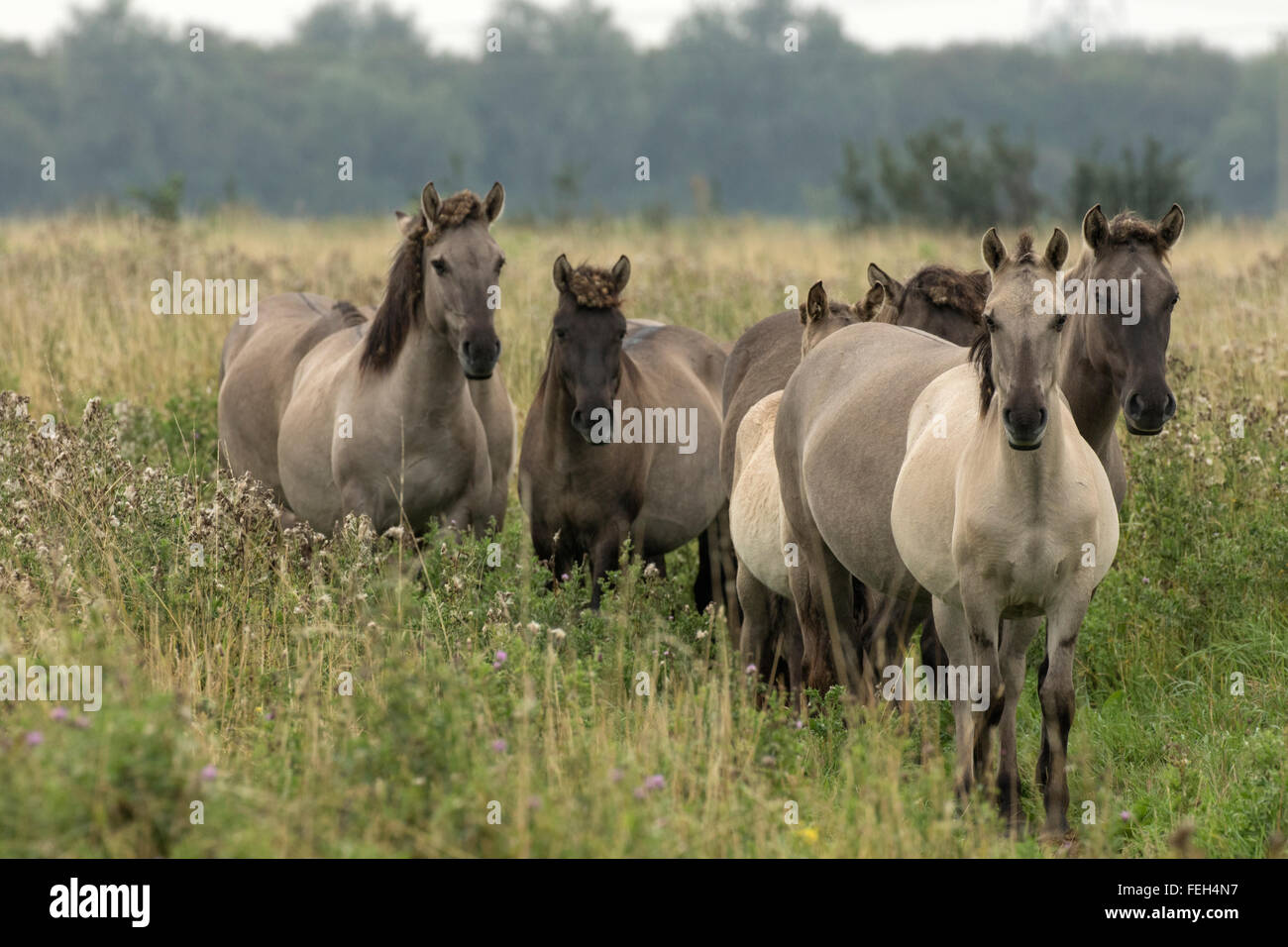 Konik ponies, Polish primitive horse, UK, The view that the Polish Konik is the most recent descendant of the European - Stock Image