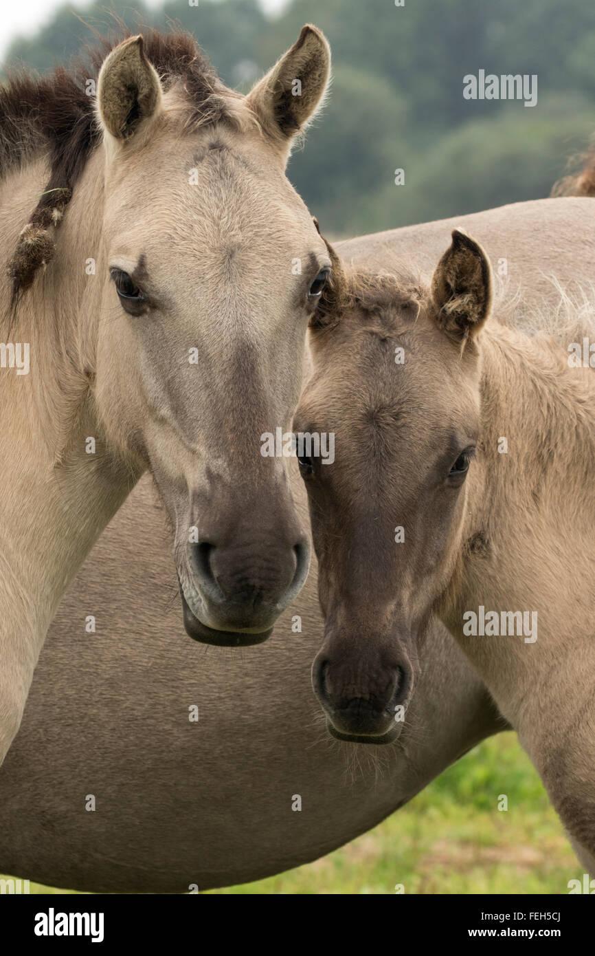 Konik ponies, Polish primitive horse, UK, The view that the Polish Konik is the most recent descendant of the European - Stock Image