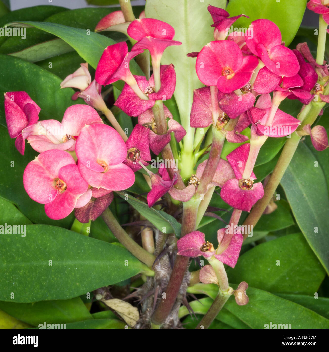 Branch with flowers of euphorbia milii or christ plant christ branch with flowers of euphorbia milii or christ plant christ thorn crown of thorns izmirmasajfo