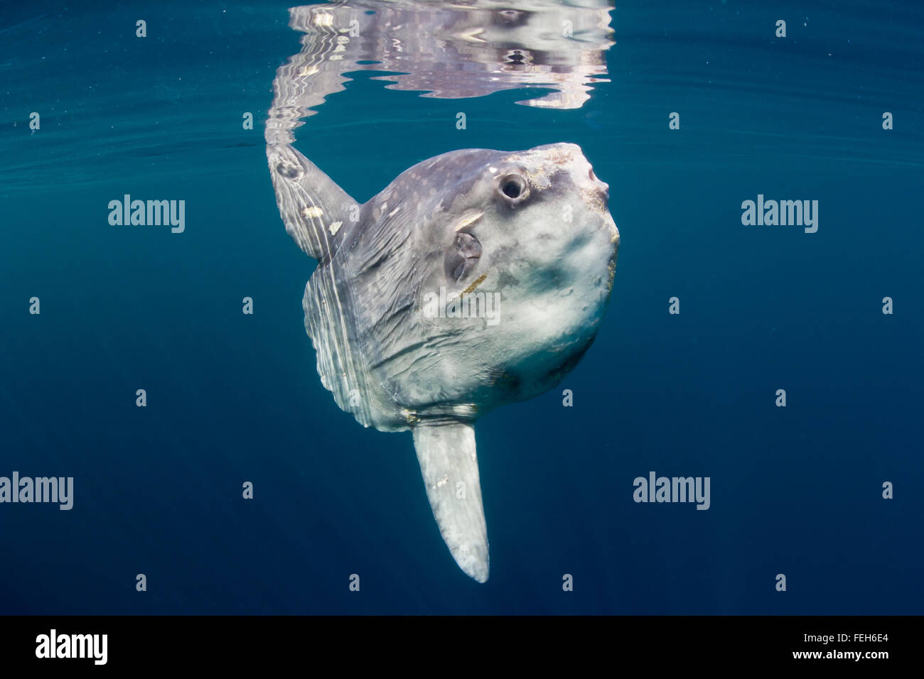 Ocean sunfish (Mola mola) basking at the surface in the clear, blue waters of the North Atlantic. A rare, summer - Stock Image