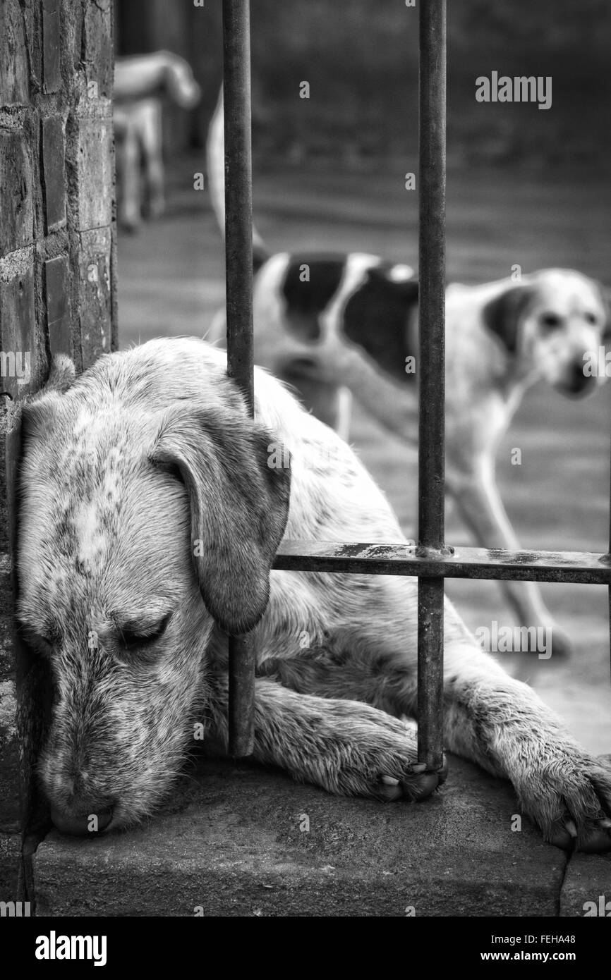 Foxhounds in kennels before going out with the north cotswolds hunt on Boxing day - Stock Image