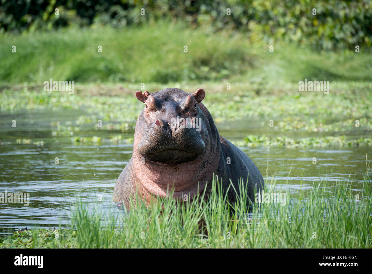 A rare saltwater hippo on the island of Orango in the Bijagos archipelago of Guinea Bissau - Stock Image