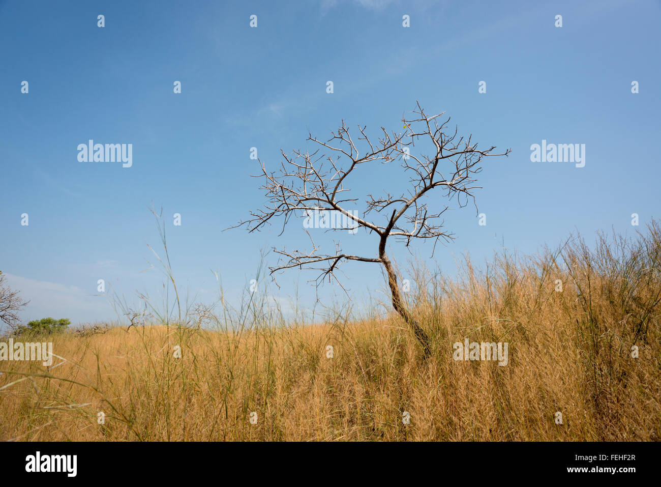A lone tree in the savannah grassland of Orango, the largest of the Bijagos islands, Guinea Bissau - Stock Image
