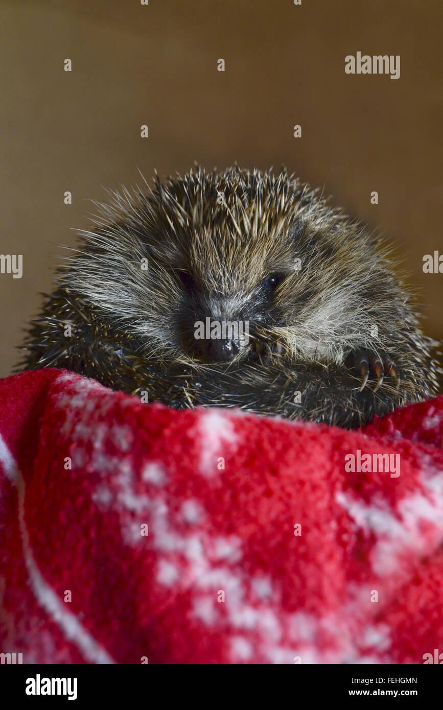 An injured hedgehog at a hedgehog hospital. - Stock Image