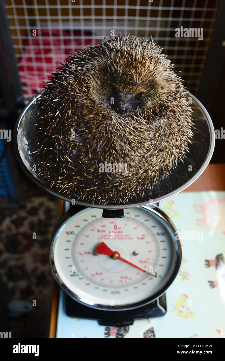 An injured hedgehog at a hedgehog hospital being weighed. - Stock Image