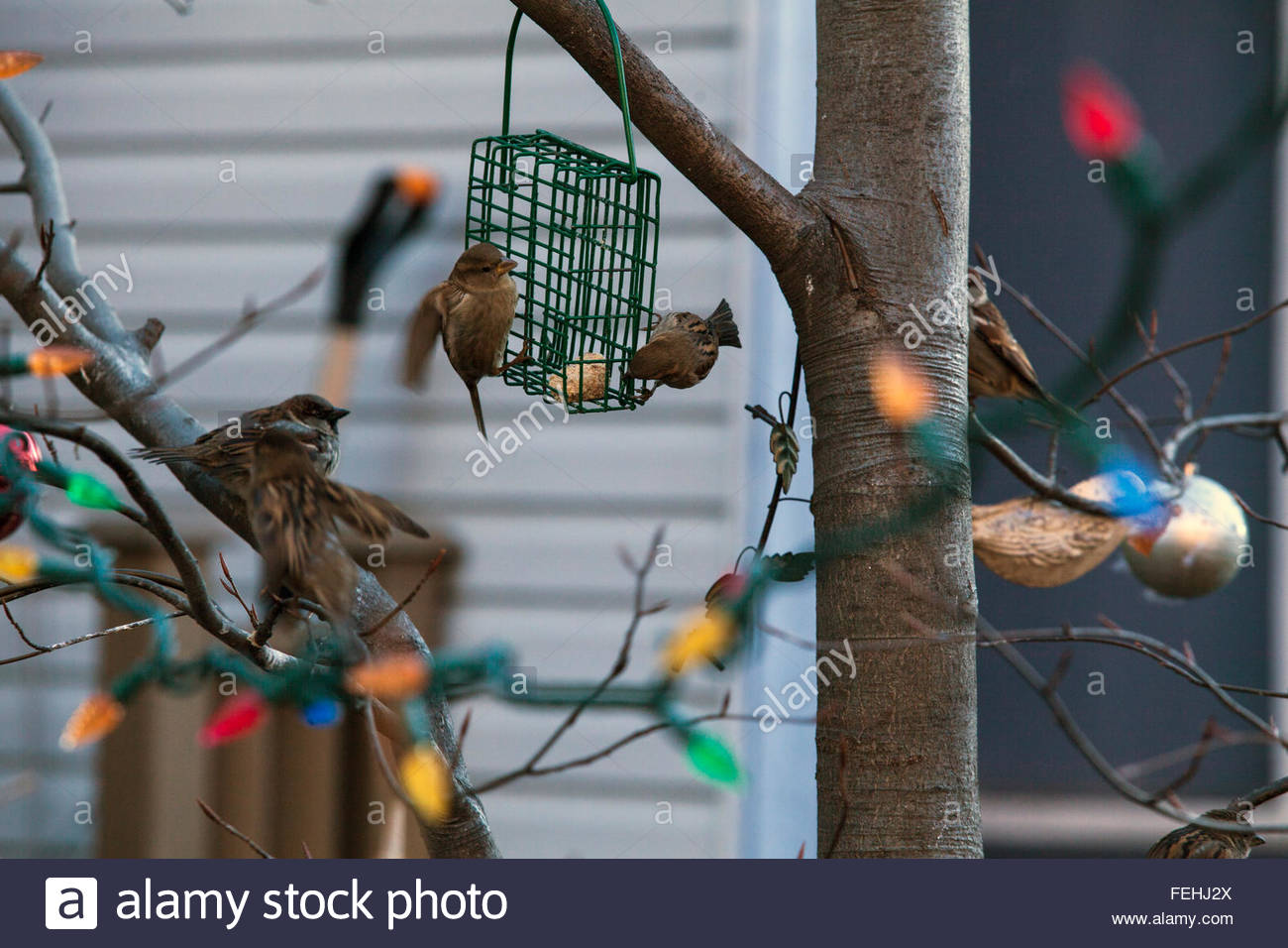 Suet bird feeder attracts sparrows and chickadees on Niagara St., Xmas decor still up in the tree, Toronto, Canada - Stock Image