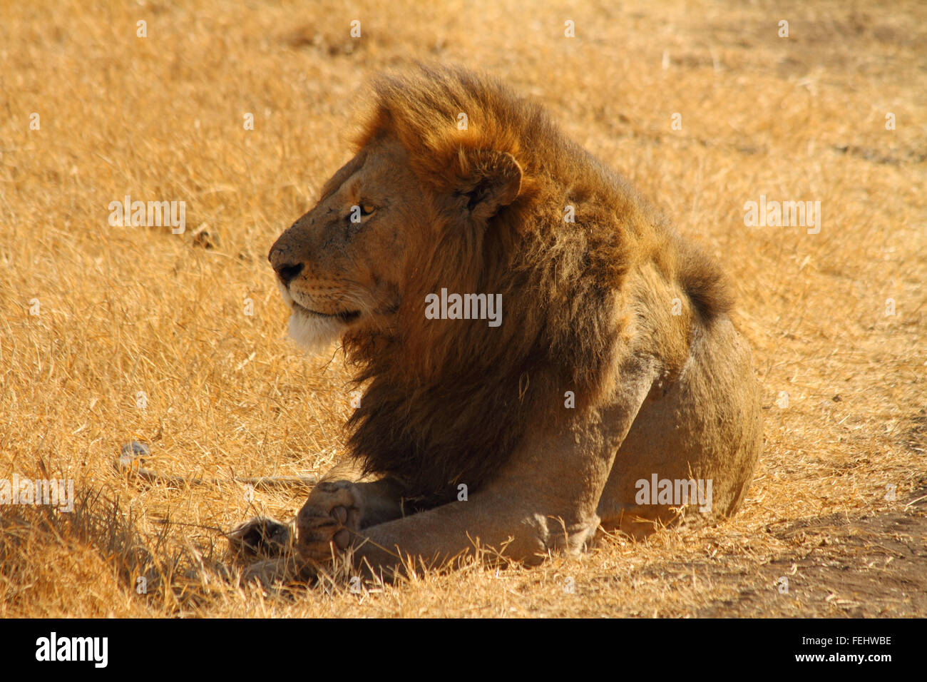 Majestic Lion, leader of the pride - Stock Image