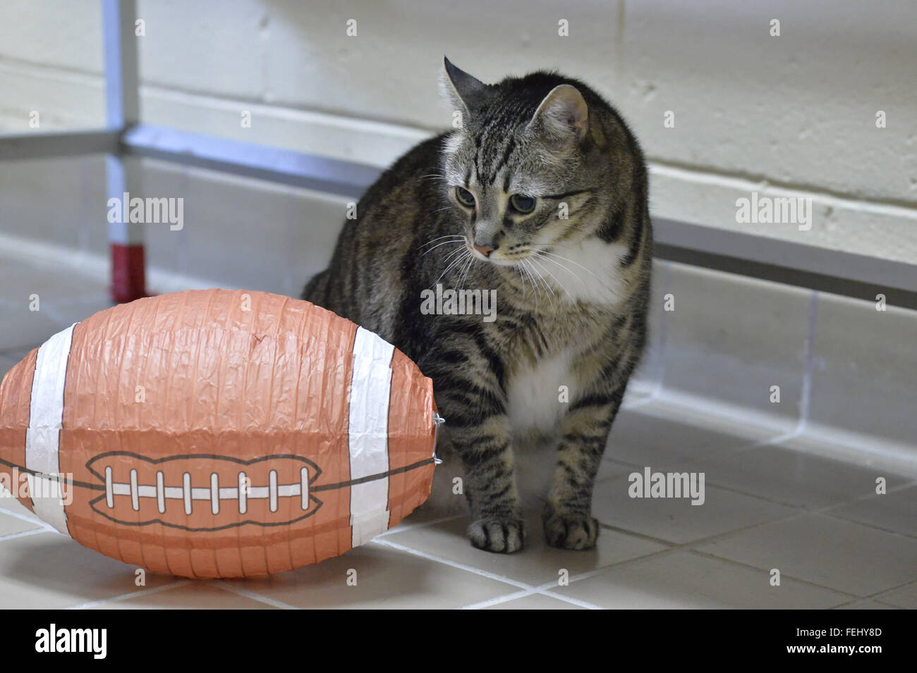 Wantagh, New York, USA. 7th Feb, 2016. Curious tabby cat ALEXANDER, the Mayor of Last Hope Rescue, looks at a football - Stock Image