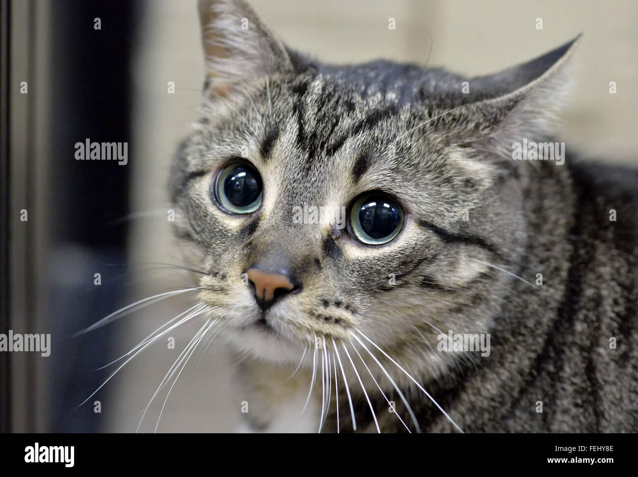 Wantagh, New York, USA. 7th Feb, 2016. Tabby cat ALEXANDER, the Mayor of Last Hope Rescue, is available for adoption, - Stock Image