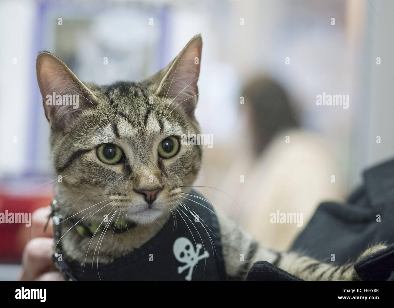 Wantagh, New York, USA. 7th Feb, 2016. Tiger the tabby cat, one of the team players in the Hallmark Channel Kitten - Stock Image