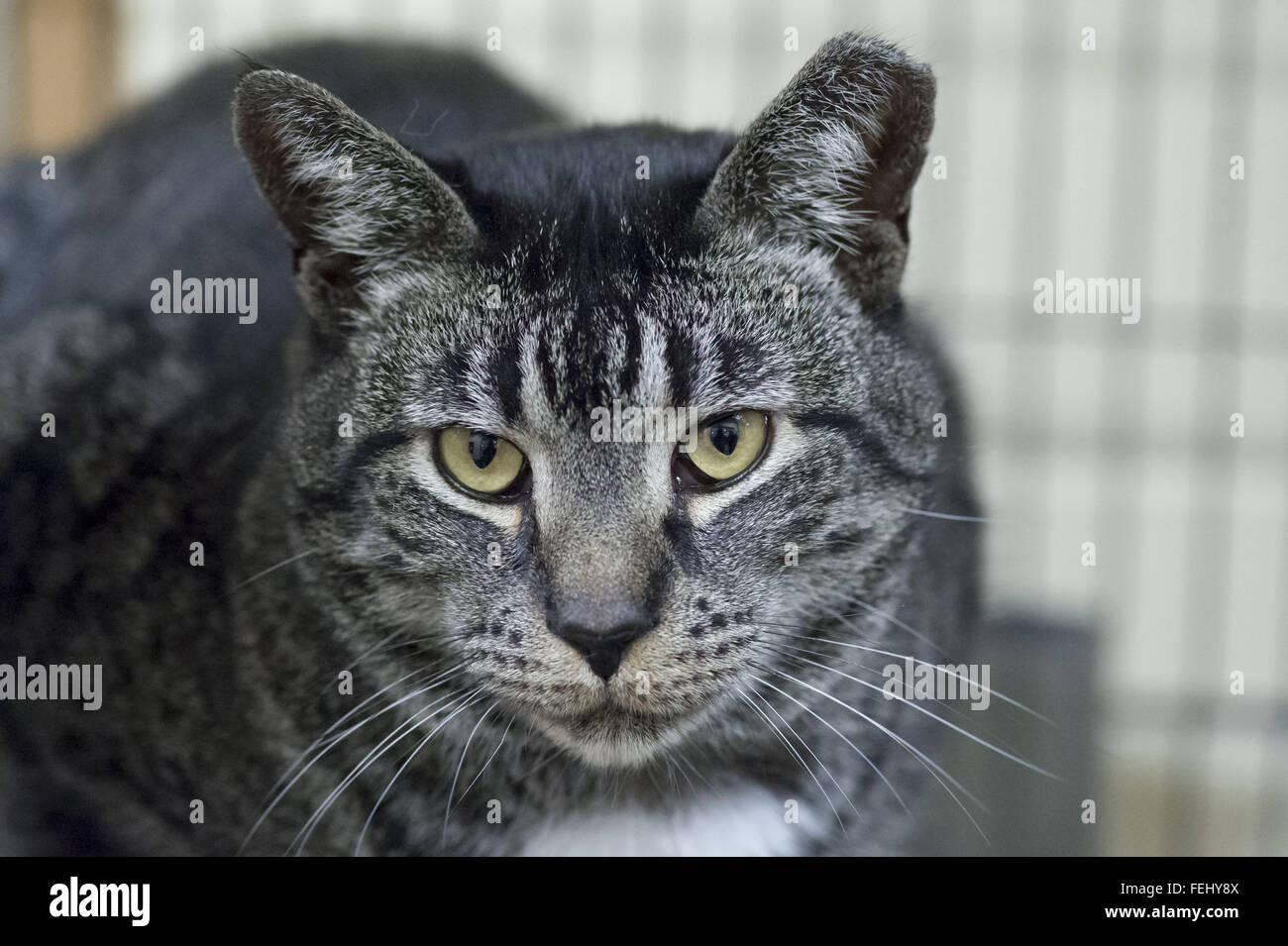Wantagh, New York, USA. 7th Feb, 2016. Woodbury, a friendly tabby cat, is available for adoption during Last Hope - Stock Image