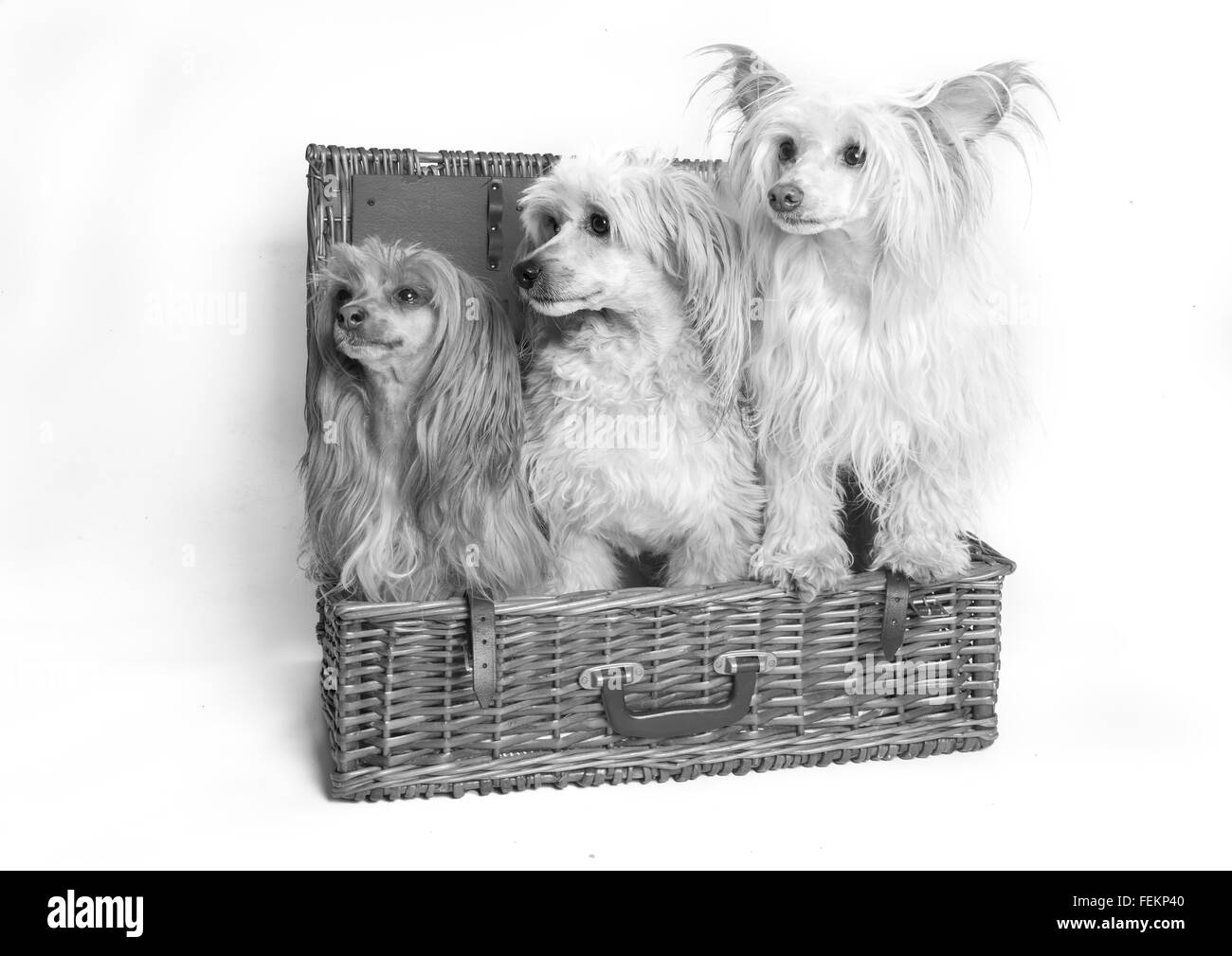 Chinese Crested Powder Puff, - Stock Image