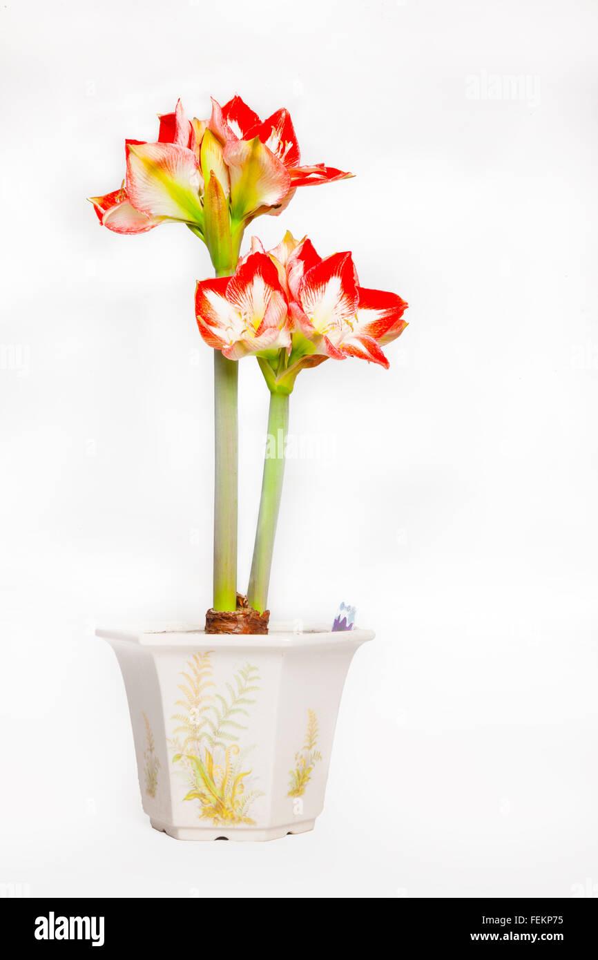 Amaryllis Minerva, indoor pot plant. Stock Photo