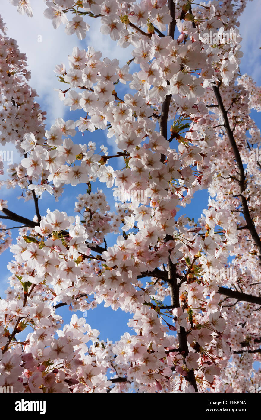 Blossoming pink asian cherry branches and spring sky closeup - Stock Image