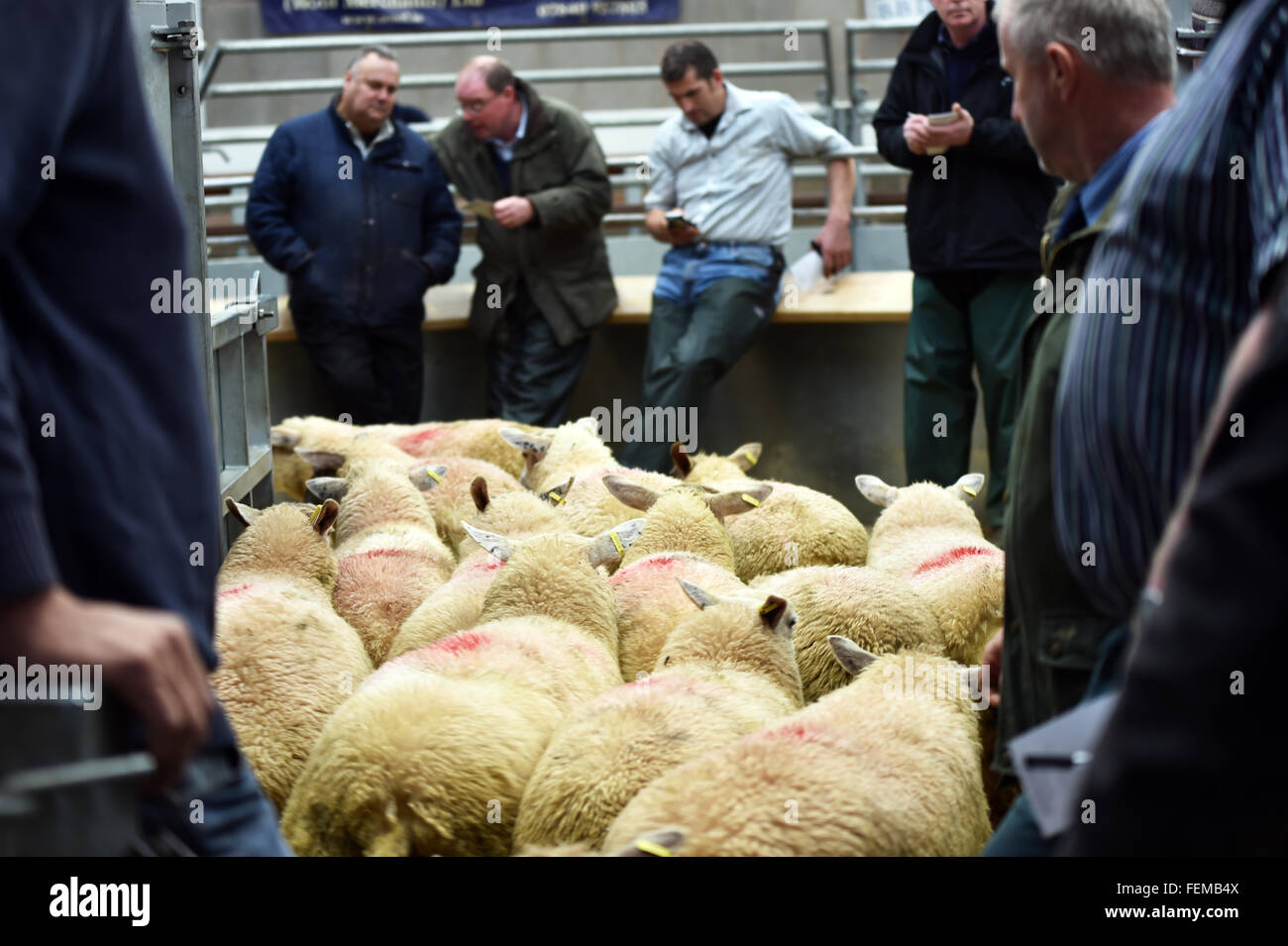 Sheep Auction, buyers inspect the stock, and use mobile phones to share the bid, Kendal UK - Stock Image