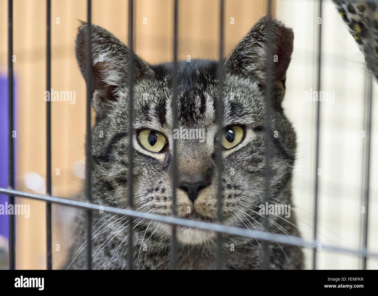 Wantagh, New York, USA. 7th February 2016. Sitting in his cage, Woodbury, a friendly tabby cat, is available for - Stock Image
