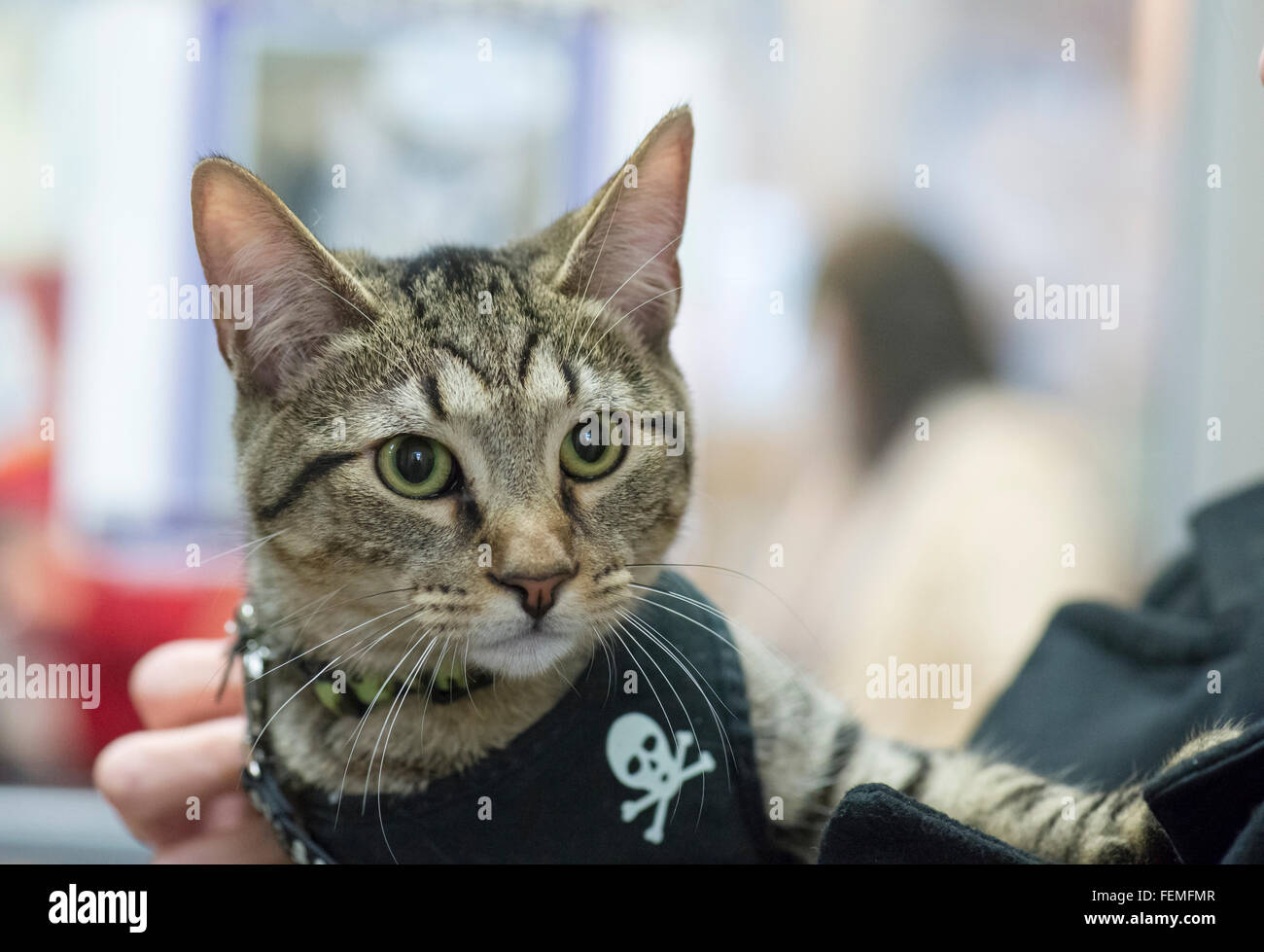 Wantagh, New York, USA. 7th February 2016. Wearing a harness with skull and crossbones, TIGER the tabby cat, one - Stock Image