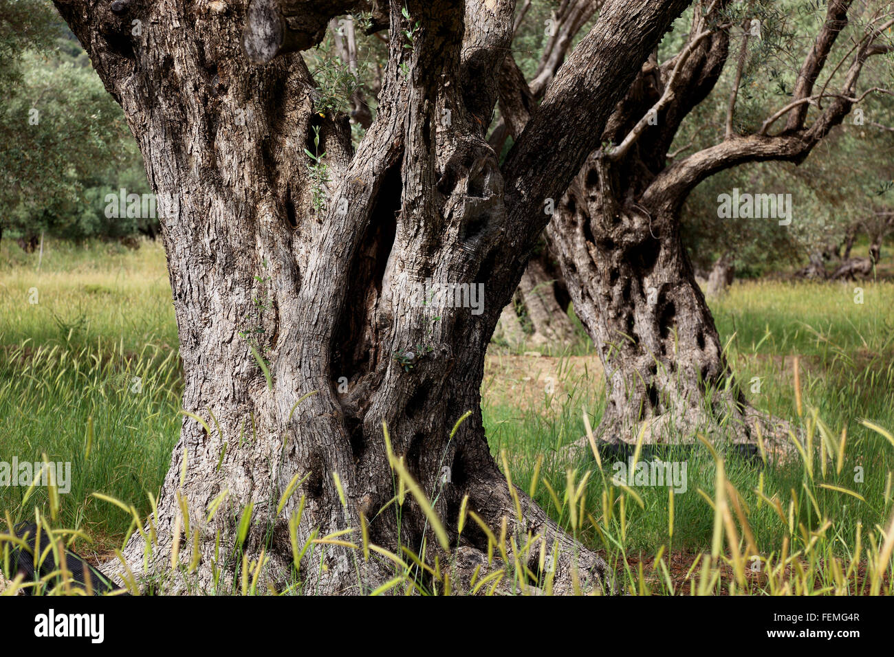 Crete, old olive trees, thicker droll trunk, olive wood - Stock Image