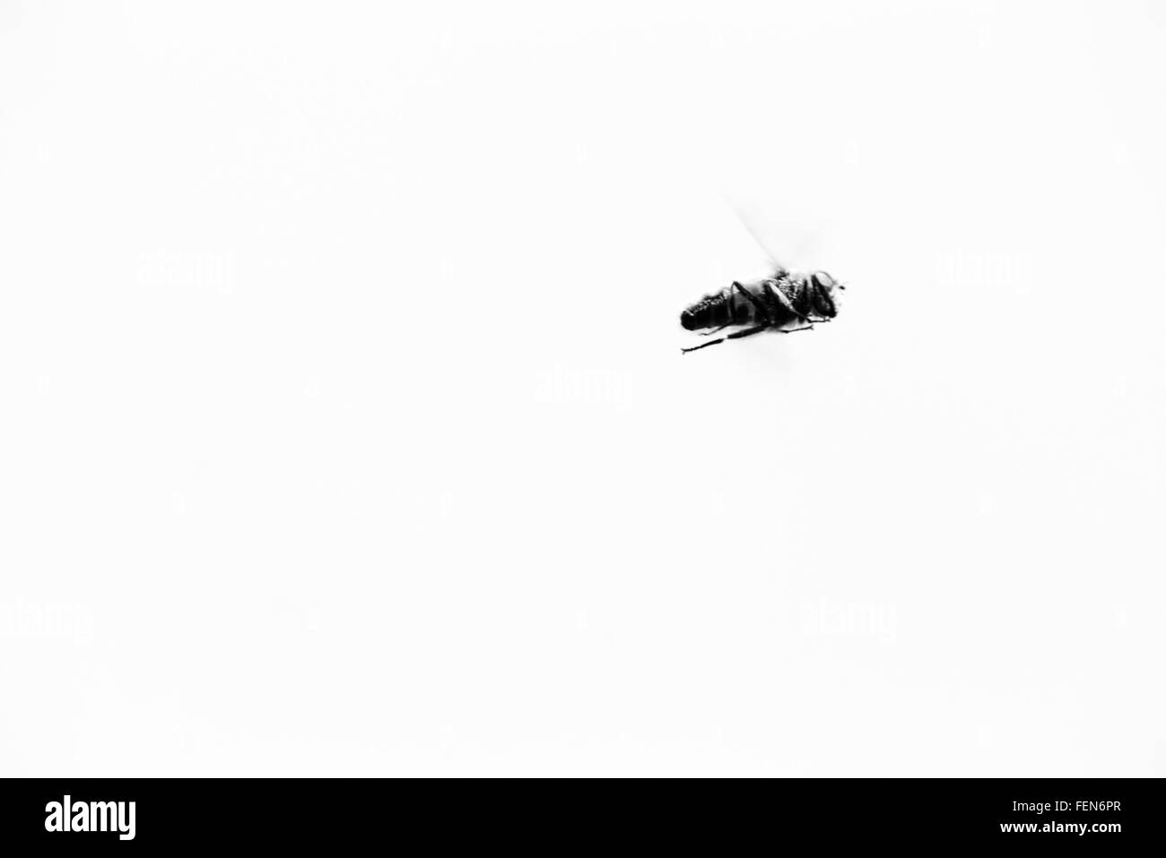 Honey Bee Flying Against Clear Sky - Stock Image