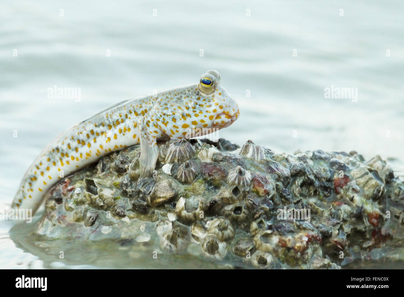 Portrait of a Gold Spotted Mud Skipper - Stock Image