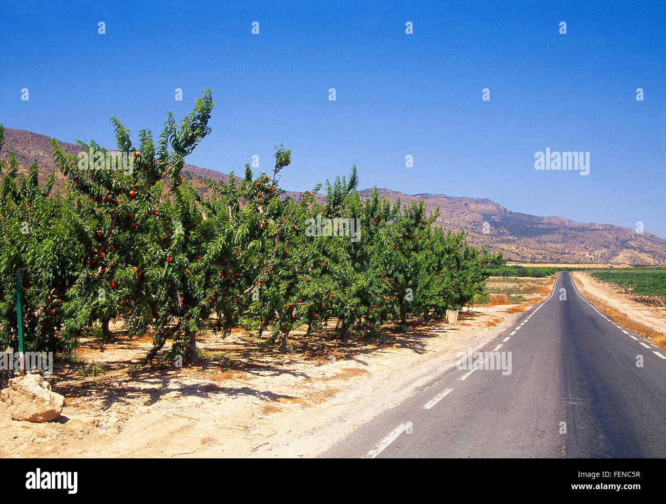 Fruit trees and side road. Murcia, Spain. - Stock Image